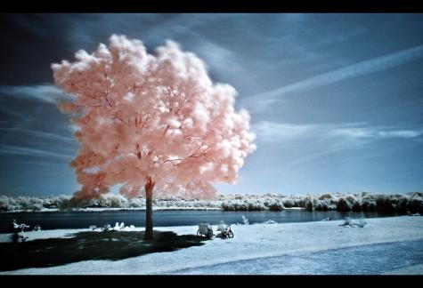 sakuras in spring